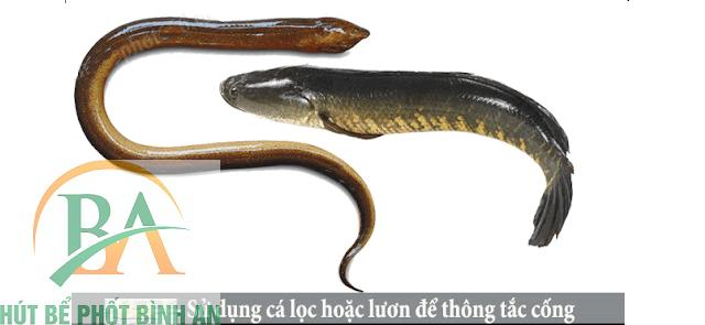 Thông cống bằng cá lóc hoặc lươn